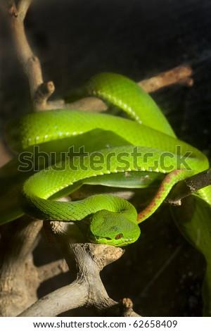 green snake on tree - stock photo
