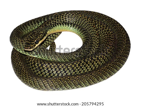 green snake on white background - stock photo