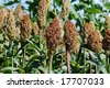 Green sorghum with blue sky background - stock photo