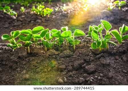 Green soy plant leaves in the cultivate field, against the light - stock photo