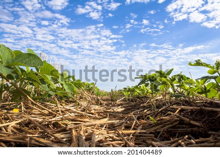 Green soy plant leaves in the cultivate field, in Brazil - stock photo
