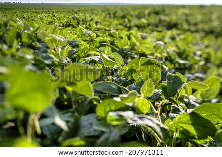 Green soybean field - stock photo
