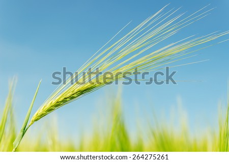 green spica on field. soft focus - stock photo