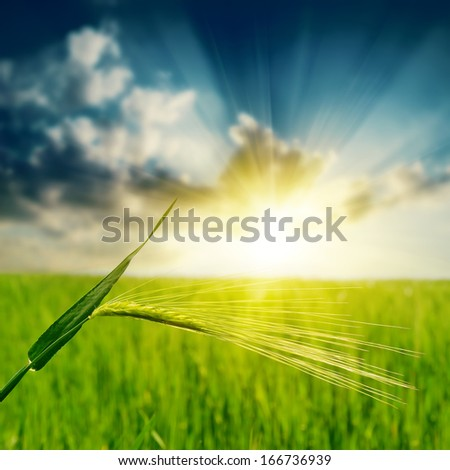 green spica under sunset - stock photo