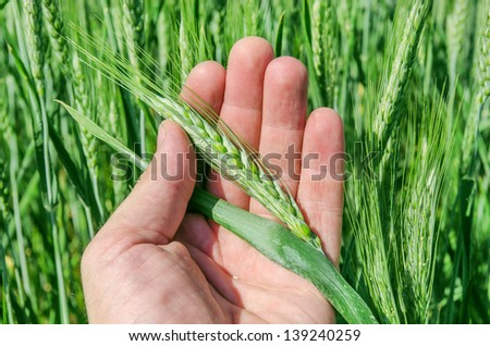 green spikelet in hand - stock photo