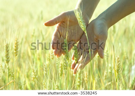 green spikelets in the woman palms - stock photo