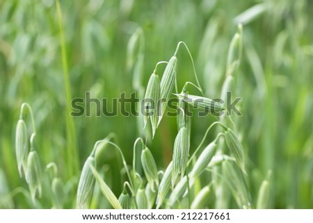 Green spikes of oats on the field - stock photo