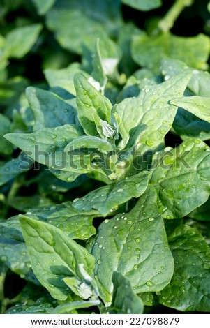 Green spinach in the garden - stock photo