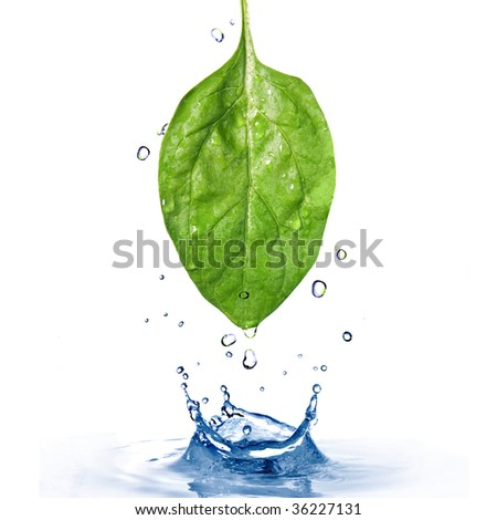 green spinach leaf with water drops and splash  isolated on white - stock photo