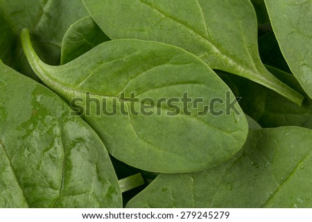Green spinach leafs texture as a background - stock photo