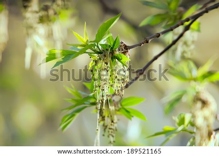 Green spring buds of the ash tree  - stock photo