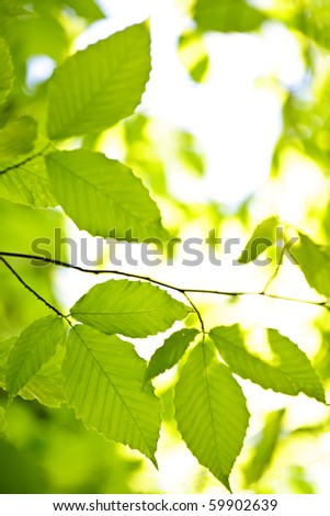 Green spring elm leaves  in clean environment, natural background