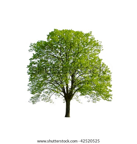 Green Spring Tree isolated on white - stock photo