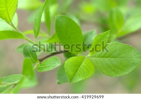green spring young leaves grow on a branch - stock photo