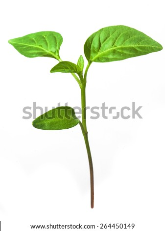 Green sprout growing from seed. Pepper. Close-up of green seedling growing out of soil isolated on white background - stock photo