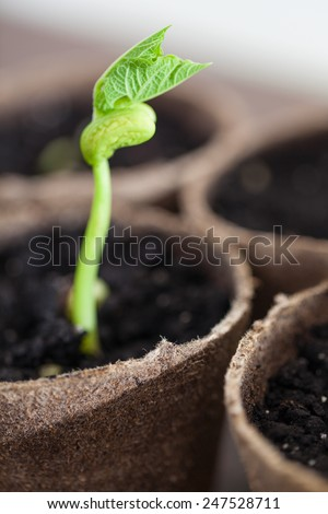 Green sprout growing in the pots, new or start or beginning concept - stock photo
