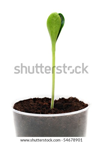 Green sprout in the flower pot, isolated - stock photo