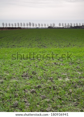 green sprouting barley field in late winter - stock photo
