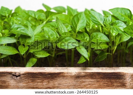 Green sprouts growing from seeds. Pepper. Close-up of green seedling growing out of soil isolated on white background - stock photo