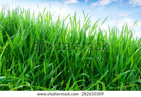 Green sprouts of wheat in the field. Blue sky with white clouds above - stock photo