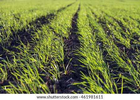 green sprouts of wheat plant in a field