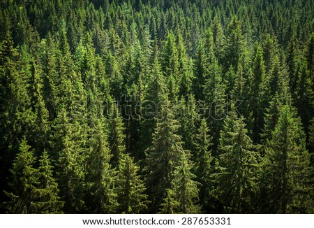 green spruce forest, view from above - stock photo