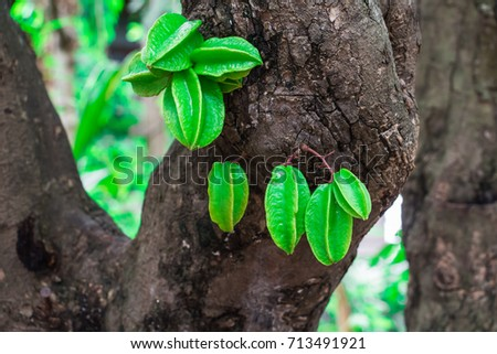 Green Star fruit or carambola fruit or star apple hanging on tree in garden at rainy season.
