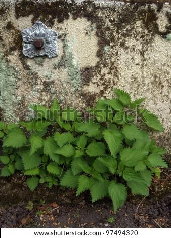 green stinging nettle in garden - stock photo