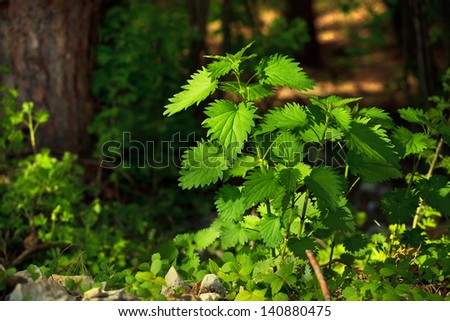 Green stinging nettle in the forest - stock photo