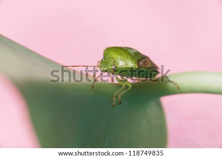 Green Stink Bug - stock photo