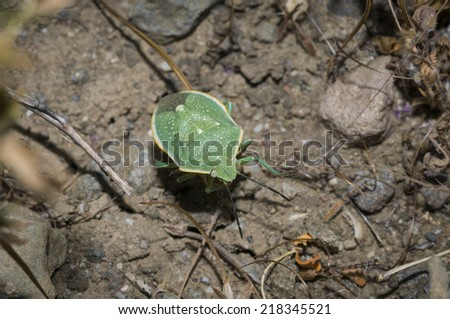 green stink bug or green soldier bug (Acrosternum hilare or Chinavia hilaris) in Camarillo, California - stock photo