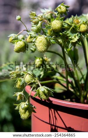 green strawberries in a pot - stock photo