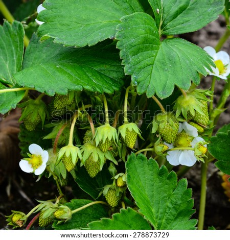 Green strawberry field in peak bloom at Puyallup, Washington, USA. Once they bloom, it takes 35 days for a strawberry to grow. - stock photo