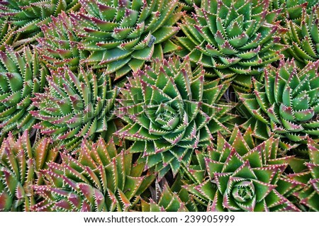 Green succulent flower of a cactus plant, Canary Islands - stock photo