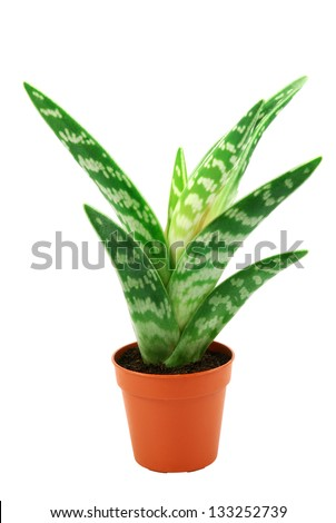 green succulent  plant in flowerpot isolated on white with clipping path - stock photo