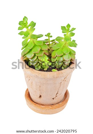 Green succulent plant sempervivum, isolated on white background - stock photo