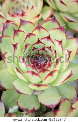 Green Succulent with Red Tips - stock photo