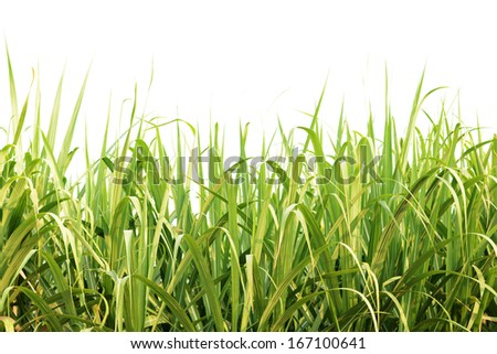 Green sugarcane leaves isolated - stock photo
