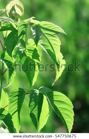 Green summer foliage of a tree
