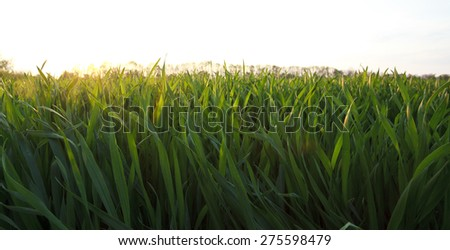 Green Summer Grass Meadow With Sunlight - stock photo