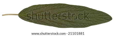 green summer leaf isolated on white background