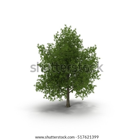 Green summer maple tree isolated on white. 3D illustration