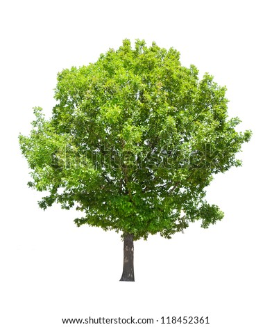 green summer oak tree isolated on white background - stock photo