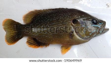 Green sunfish University of Mississippi Field Station - stock photo