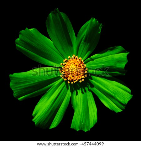 Green surreal flower Primula macro isolated on black - stock photo
