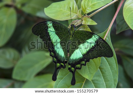 Green swallowtail butterfly resting on a green leaf - stock photo