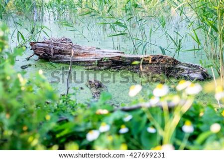 Green swamp - stock photo
