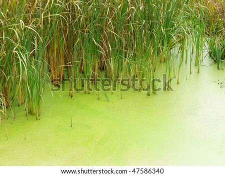 Green swamp water and reeds in the pond. - stock photo
