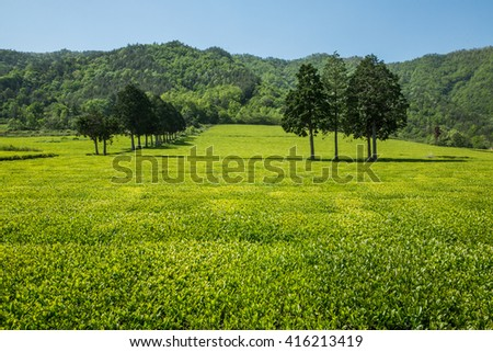 Green tea and a field