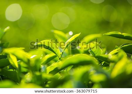 Green tea bud and fresh leaves. Tea plantations in Munnar, Kerala, India - stock photo